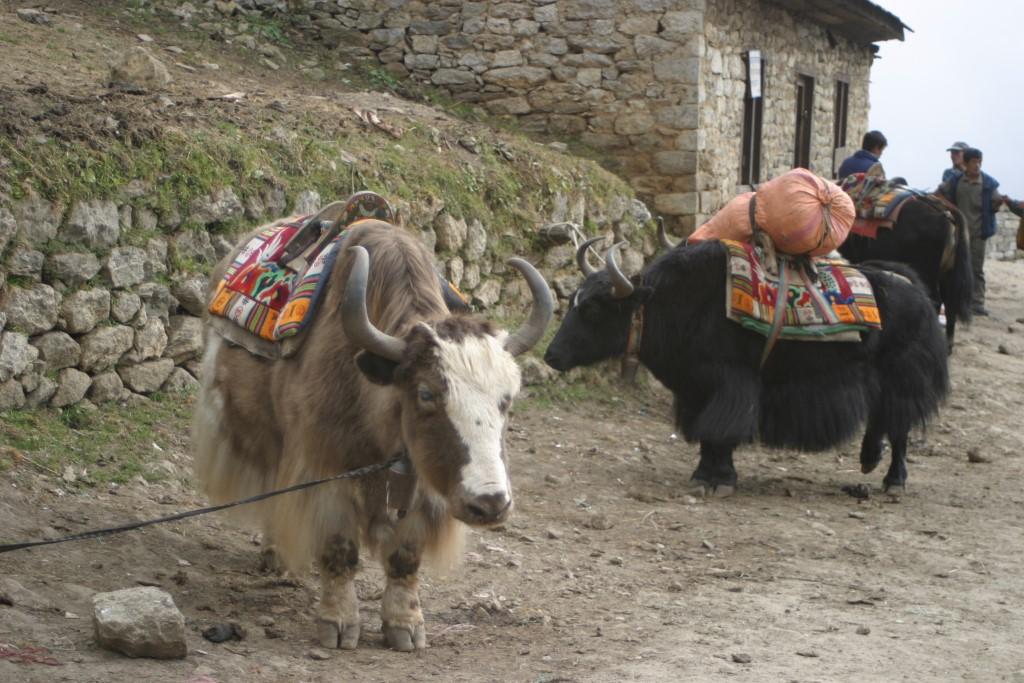 Yaks in Namche Bazaar