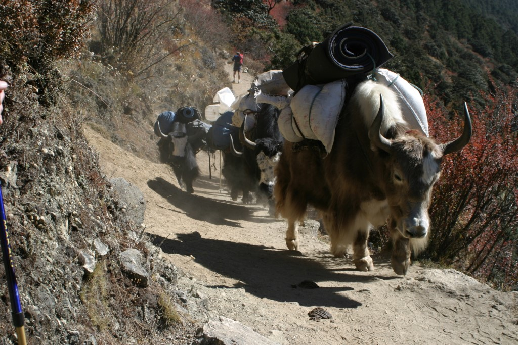 Yaks coming down the trail