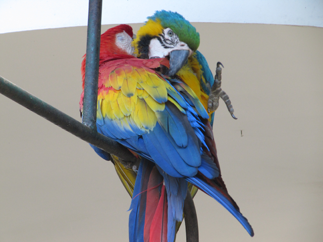Colourful parrots at the hotel...