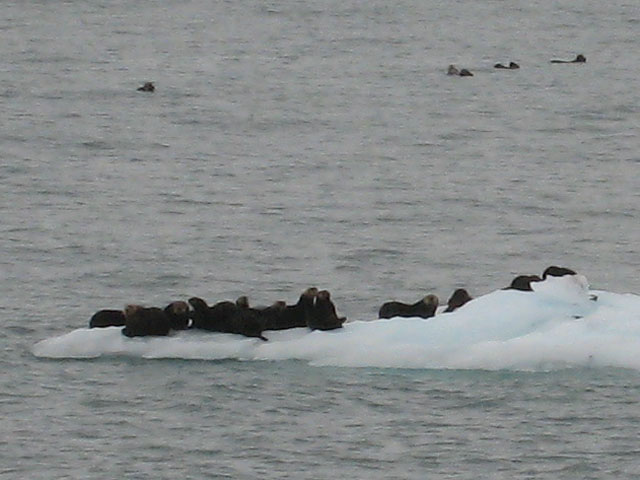 Sea Otters, enjoying a laze about on the ice...