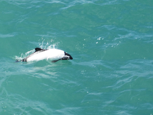 Commerson's Dolphin playing...