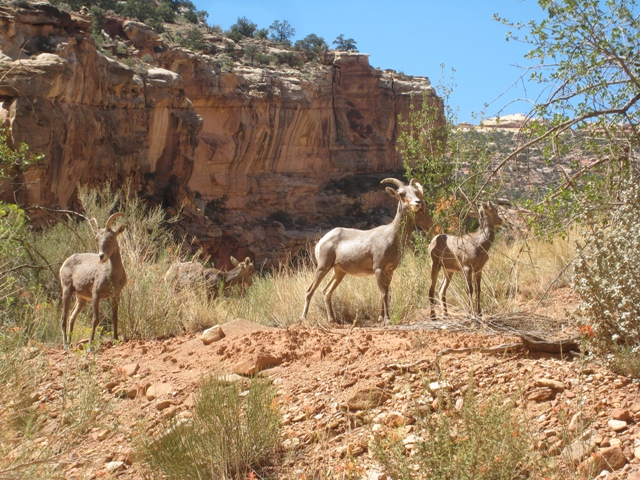 Desert Bighorn Sheep on the side of the road